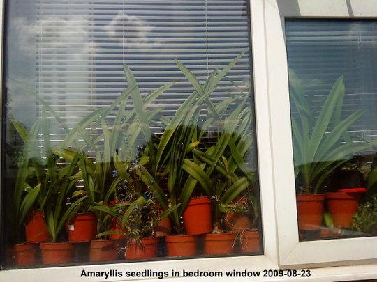 Amaryllis in bedroom window 2009-08-23.jpg (Amaryllis Hippeastrum)