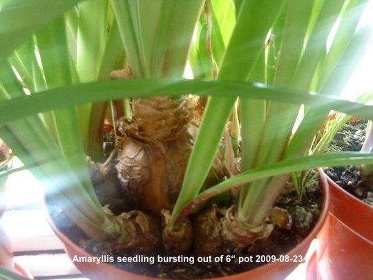 Amaryllis bursting out of pot 2009-08-23.jpg (Amaryllis Hippeastrum)