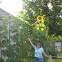 Mammoth size sunflowers