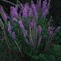 Lythrum salicaria 'Firecandle' - 2009 (Lythrum salicaria)