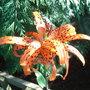 Lilium lancifolium 'Flore Pleno' - 2009 (Lilium lancifolium)