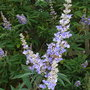 Vitex agnus-castus var latifolius - 2009 (Vitex agnus-castus)