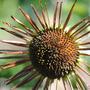 Queen velevet sunflower