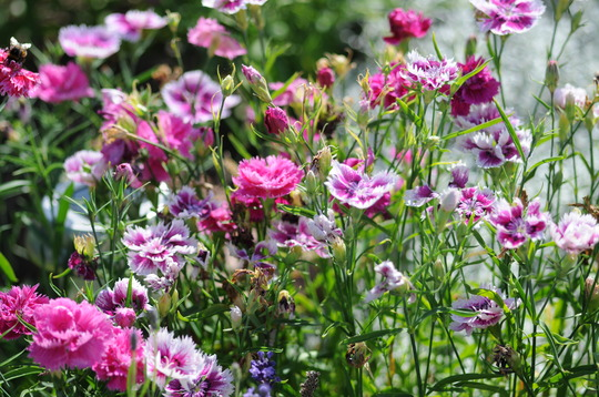 Dianthus (Dianthus chinensis (Baby Doll))
