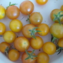 Tomatoes........Sungold.......