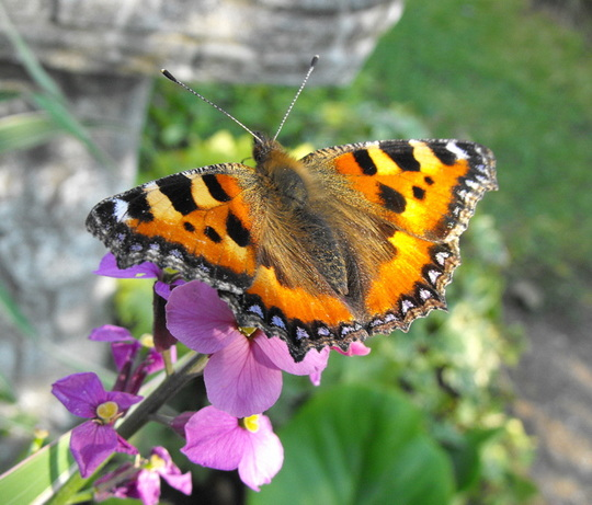 "Tortoise Shell Butterfly "" Blog"""