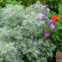 Beautiful Artemisia (Artemisia)