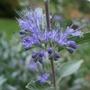 Caryopteris (Caryopteris x clandonensis)