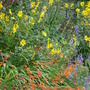 Late Summer colours (Helianthus tuberosus (Aguaturma))