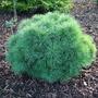 Pinus_strobus_sea_urchin