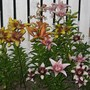 Tango lilies.