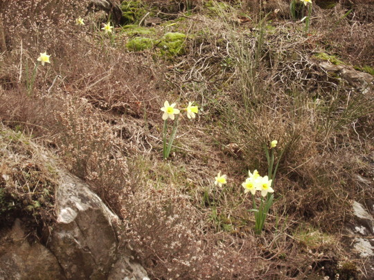 Wild daffodils growing in the craggy roadside of the French Black Mountains  (narcissus)