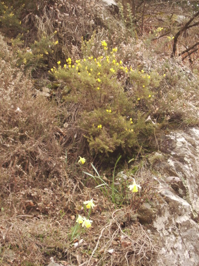 Broom and wild Daffodils growing along the soadside in the French Black Mountains