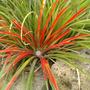 Visicularia Bicolour