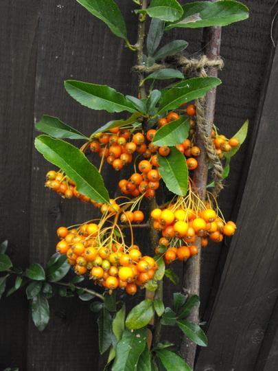Pyrancantha Berries