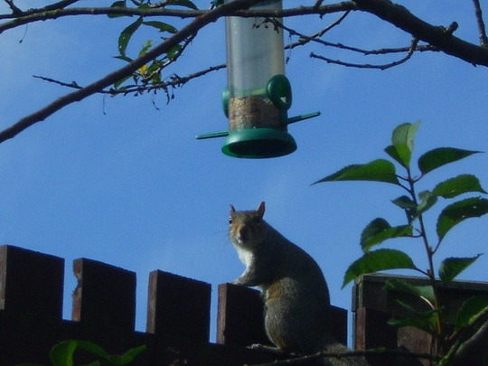 Squirrel on my motheaten cherry tree