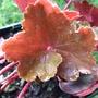 Saxifraga_cortusifolia_rubrifolia_