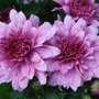 Pink_chrysanthemum