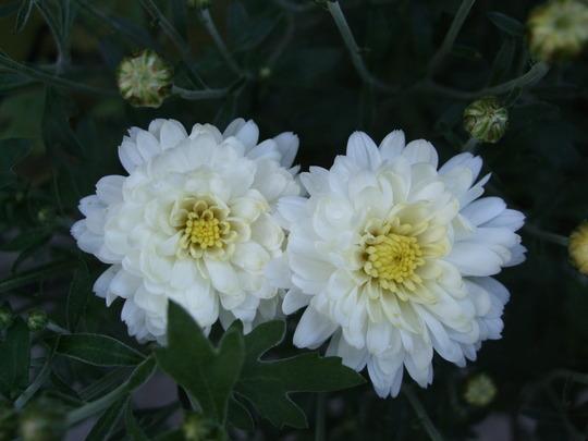 Chrysanthemum (white) (Chrysanthemum)