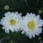 White_chrysanthemum