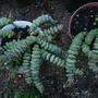Crassula rupestris marnieriana Hottentot (Crassula rupestris marnieriana Hottentot)