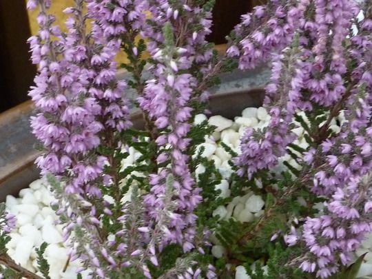 Calluna Vulgaris - Silver Knight Heather
