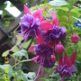 Fuschia- Can Anyone name it?