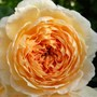 David Austin Rose 'Crown Princess Margareta' (Rosa 'Crown Princess Margareta')
