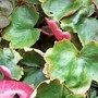 .... big plant that gets the most light..... (saxifraga fortunei)