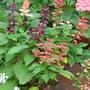 Salvia splendens (Salvia splendens)