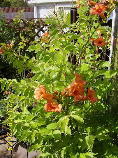 Full glory... (Campsis radicans (Seem))