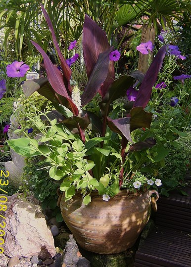 Canna's, petunias and pineapple, strange recipe!! (Canna indica (Indian shot plant))