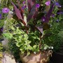 Canna's, petunias and pineapple, strange recipe!! (Canna indica (Indian shot plant))