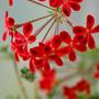 pelargonium ardens (pelargonium ardens)