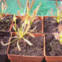 Drosera capensis (Drosera capensis (Cape Sundew))
