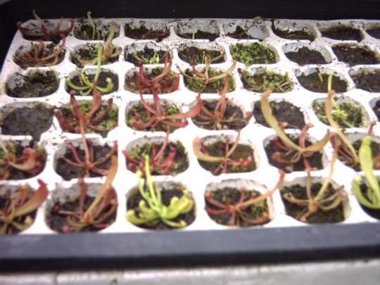 Sarracenia seedlings (Sarracenia purpurea)