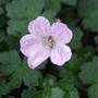 Geranium_pink_delight_a