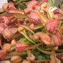 Sarracenia psittacina (Parrot pitcher) (Sarracenia psittacina (Parrot pitcher))