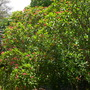 Plumeria rubra - Hawaiian Pink Plumeria (Plumeria rubra - Hawaiian Pink Plumeria)