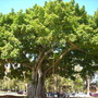 Ficus bengalensis - Banyan Tree  (Ficus bengalensis - Banyan Tree)