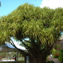 Pandanus - Variegated Hala Tree (Pandanus - Variegated Hala Tree)
