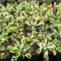 A few of my vfts (Dionaea muscipula (Venus flytrap))