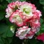 """Geranium """"Apple Blossom"""""""