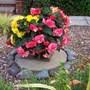 Birthday begonias