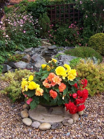 More begonias +