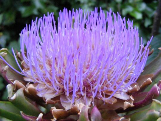 Artichoke Flower..