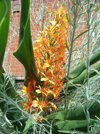 Hedychium 'Tara' - 2009 (Hedychium 'Tara')