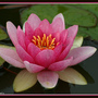 Water lily red at Montecute house