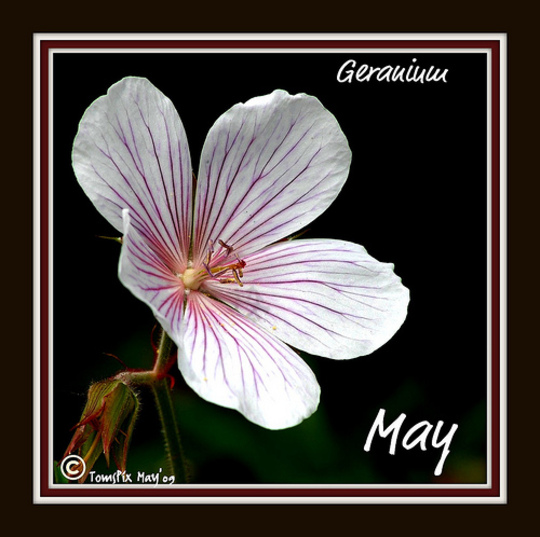 Kashmir white geranium