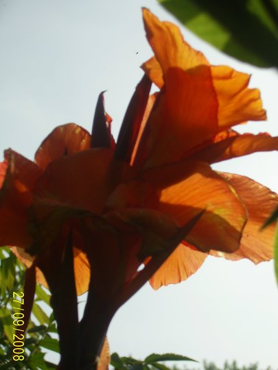 CANNA INDICA...INDIAN SHOT